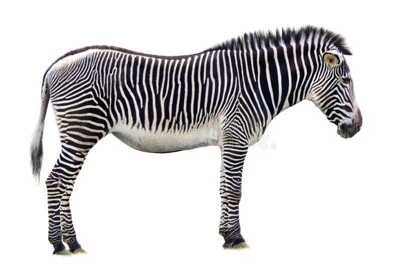 Seitenansicht Grevys-Zebras lokalisiert auf Weiß stockfotos