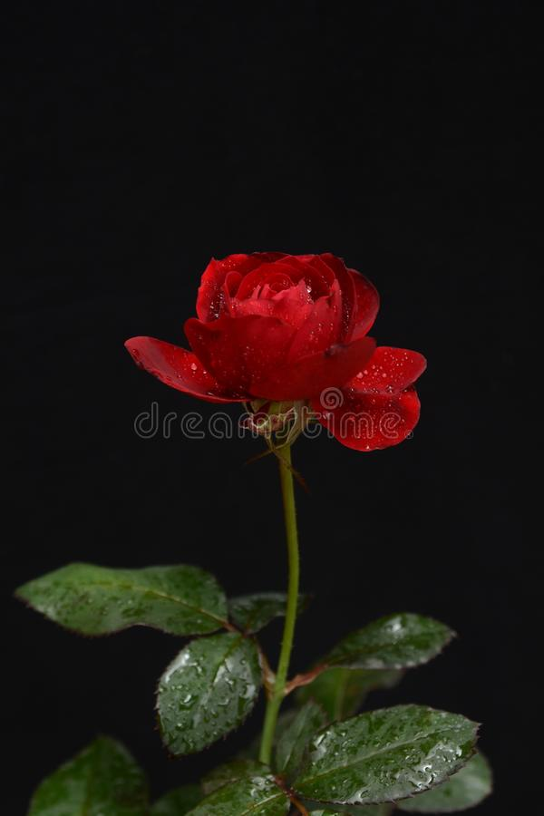 Seitenansicht von einer schönen roten Rose auf einem dunklen Hintergrund lizenzfreies stockbild