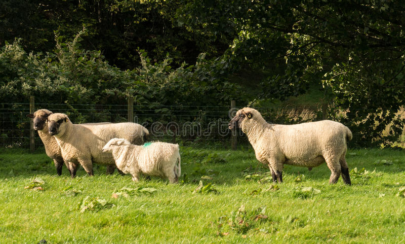 Seitenansicht von Shropshire-Schafen in der Wiese lizenzfreie stockfotos