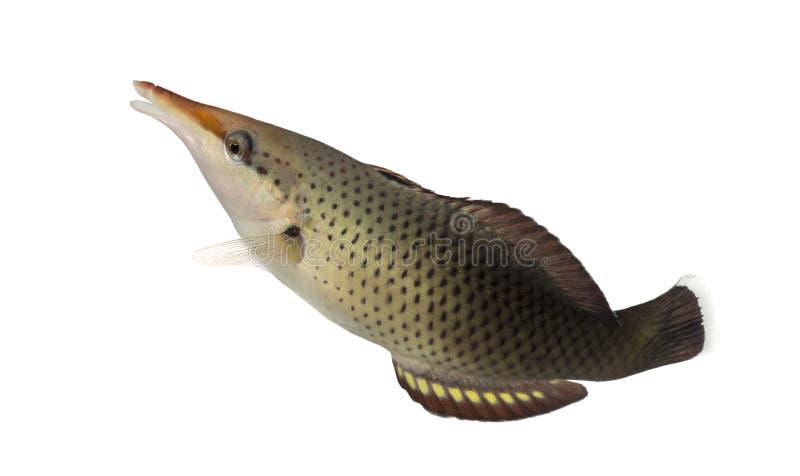 Seitenansicht von weiblichen oben schwimmen Vogel Wrasse stockfotos