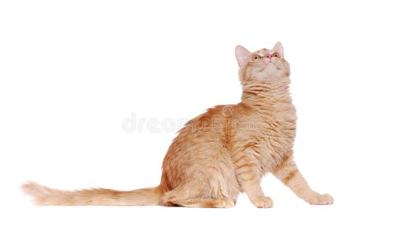 Seitenansichtporträt einer sitzenden Ingwerkatze, die oben schaut stockfoto