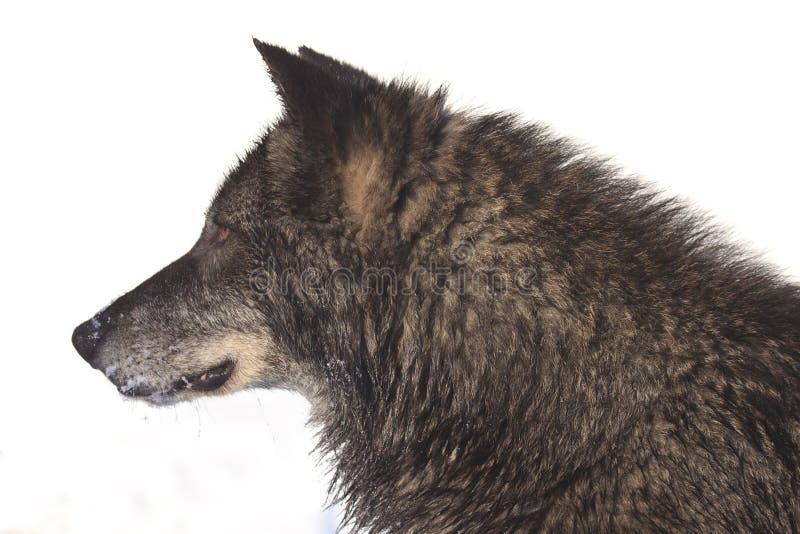 Seitenporträt des schwarzen Timberwolfs stockbilder