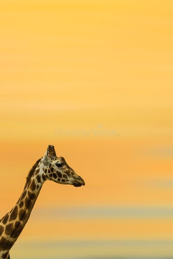 Seitenporträt einer afrikanischen Giraffe stockbild