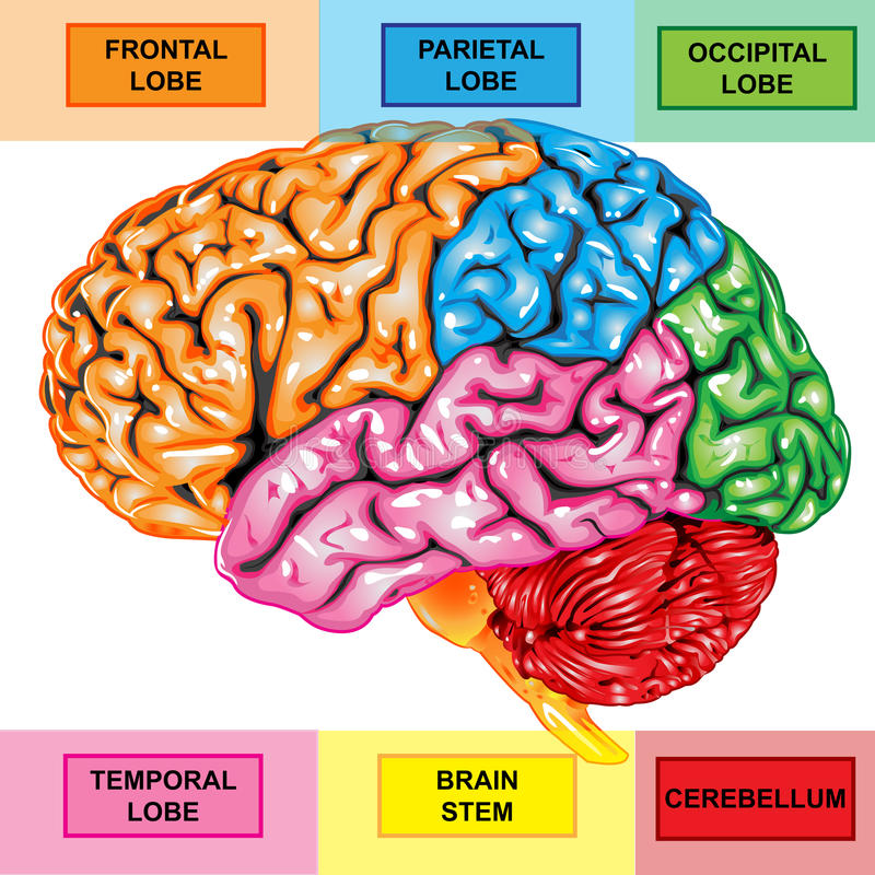 Seitenteilansicht des menschlichen Gehirns lizenzfreie abbildung