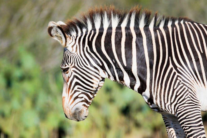 Seitliches Portrait von Zebra stockbild