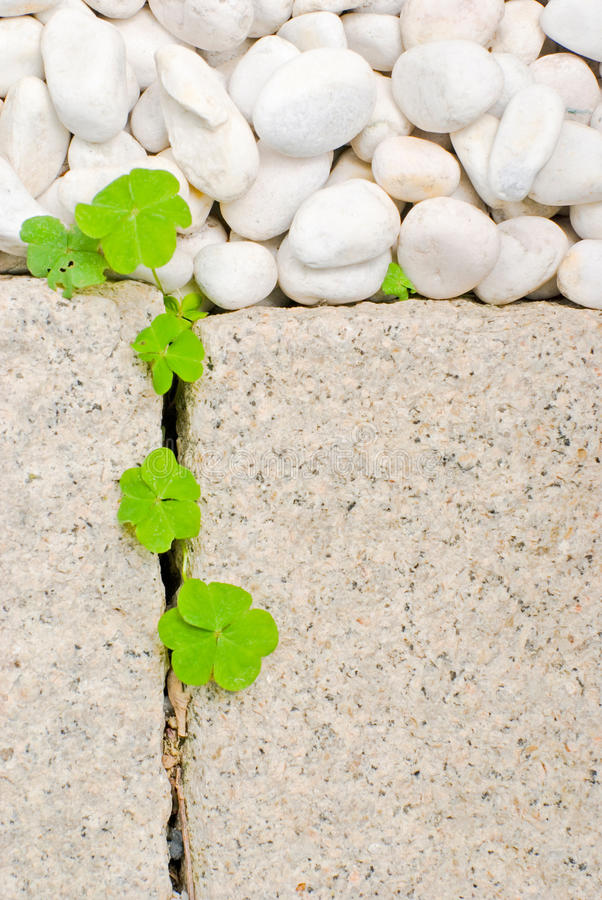 Seixo branco e folha recém-nascida dos oxalis do rastejamento fotos de stock