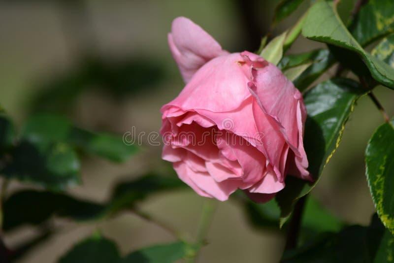 Seizoenen van vrije rozen royalty-vrije stock foto