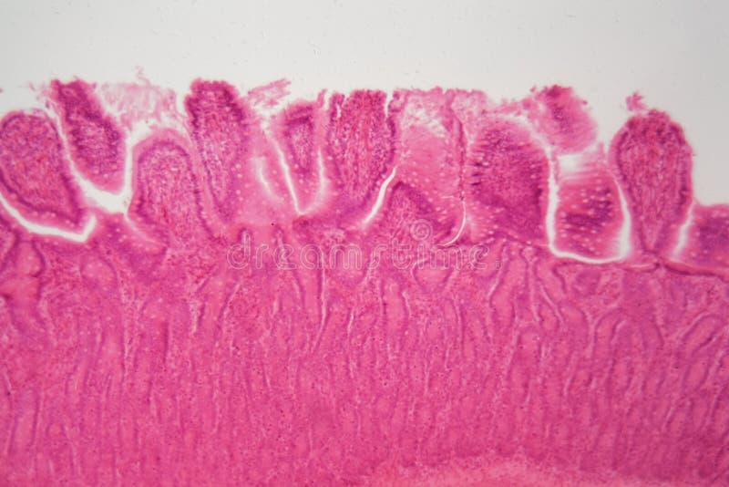 Sekcja psi ciliated kolumnowy nabłonek zdjęcia stock