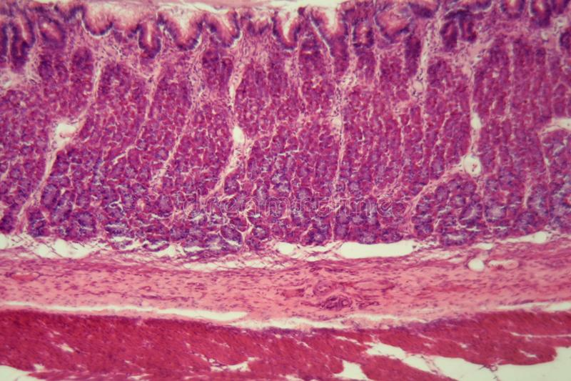 Sekcja sercowy region psi żołądek obraz stock