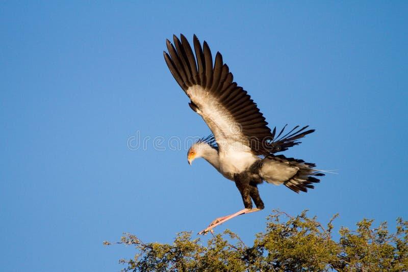 Download Sekretärvogel stockfoto. Bild von flugwesen, frontseite - 26374506