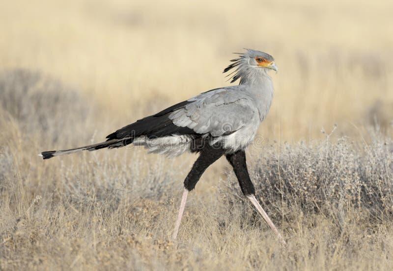 Sekretarka ptak zdjęcia stock