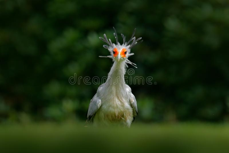 Sekretarka ptak, Sagittarius serpentarius, portret ładny popielaty ptak zdobycz z pomarańczową twarzą, Kenja, Afryka Przyrody sce obraz royalty free
