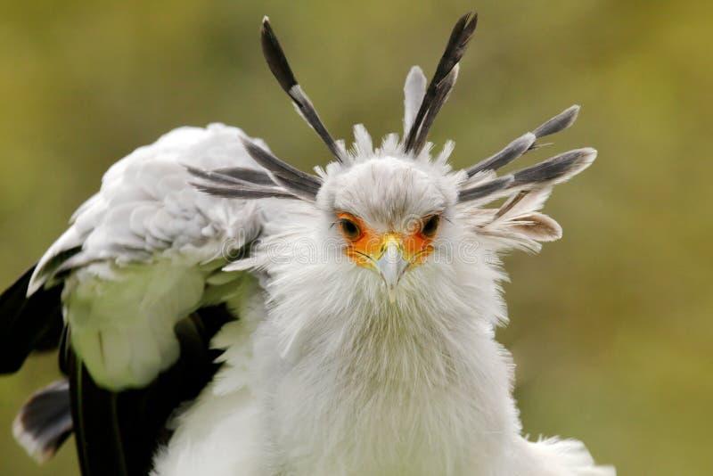 Sekretarka ptak, Sagittarius serpentarius, portret ?adny popielaty ptak zdobycz z pomara?czow? twarz?, Kenja, Afryka Przyrody sce obraz royalty free