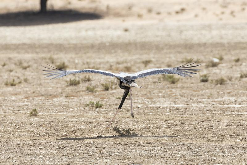 Sekretarka ptak używać swój skrzydła dla dźwignięcia gdy biegający, Kgalagadi Parkowy, Północny przylądek Transfrontier, Południo obrazy stock