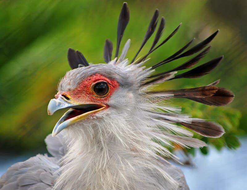Sekreterare Bird royaltyfria bilder