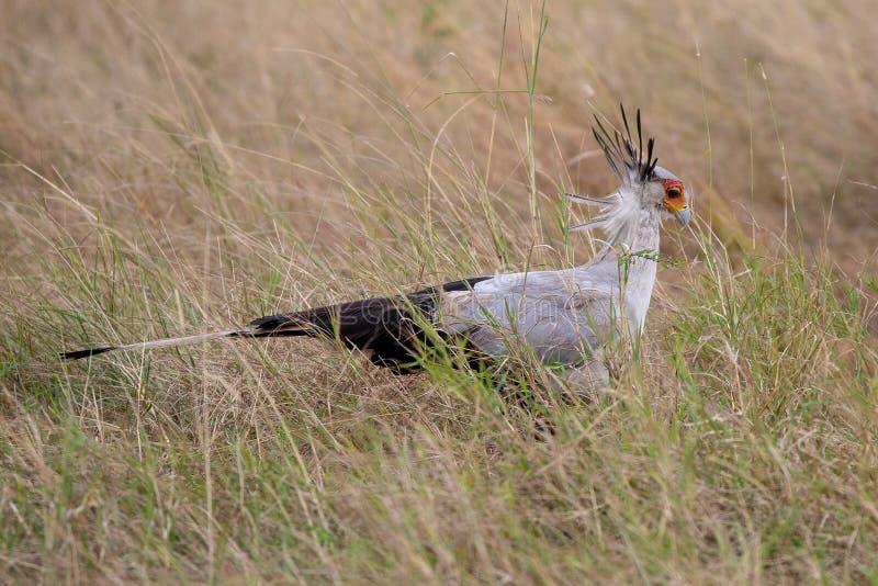 Sekreterare Bird, Kenya, Afrika royaltyfri bild