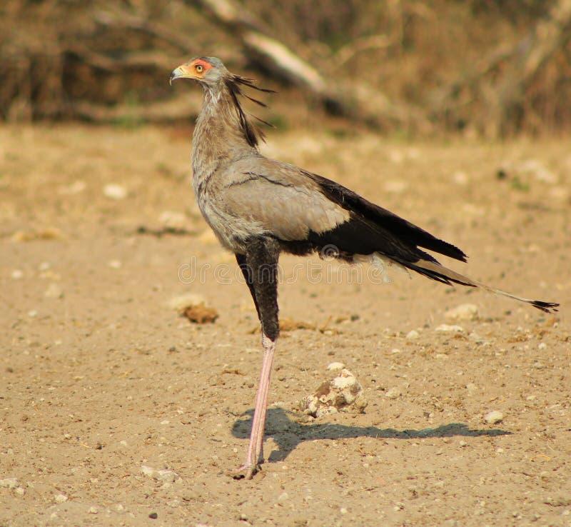 Sekreterarefågel - afrikanska Gamebird arkivfoto