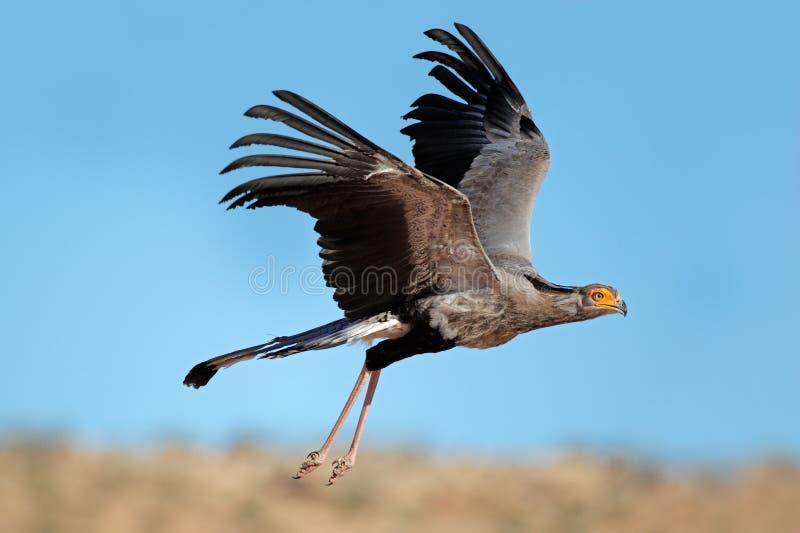 Sekreterarefågel i flyg royaltyfri fotografi