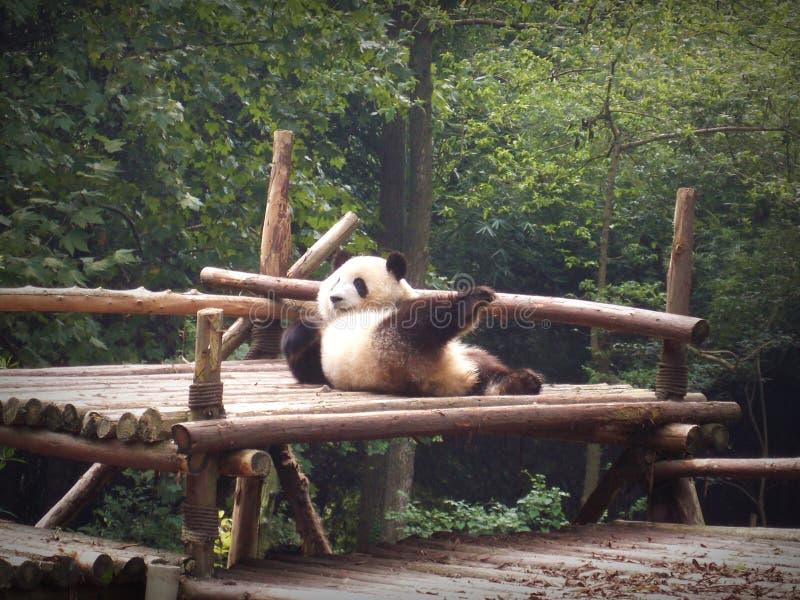 Seksowny niedźwiedź fotografia royalty free