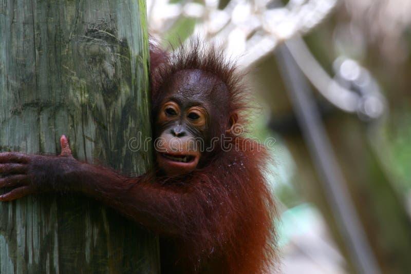 Sekundärteilchen des Orang-Utans lizenzfreies stockbild