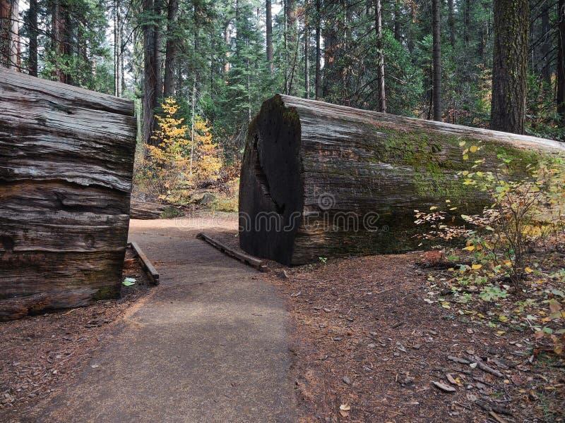 Sekwoi Lasowa ścieżka obrazy royalty free