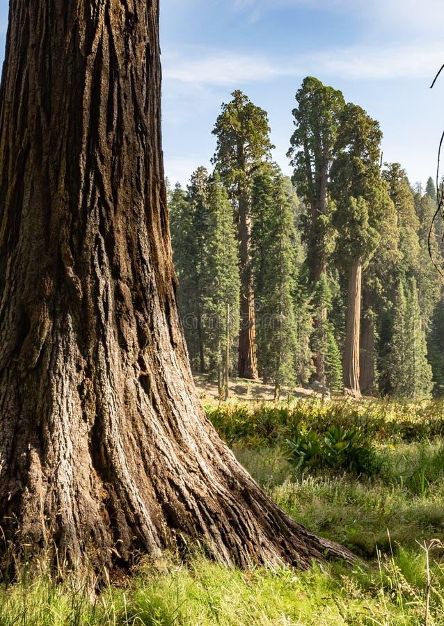 Sekwoj drzew obwódki łąka fotografia stock