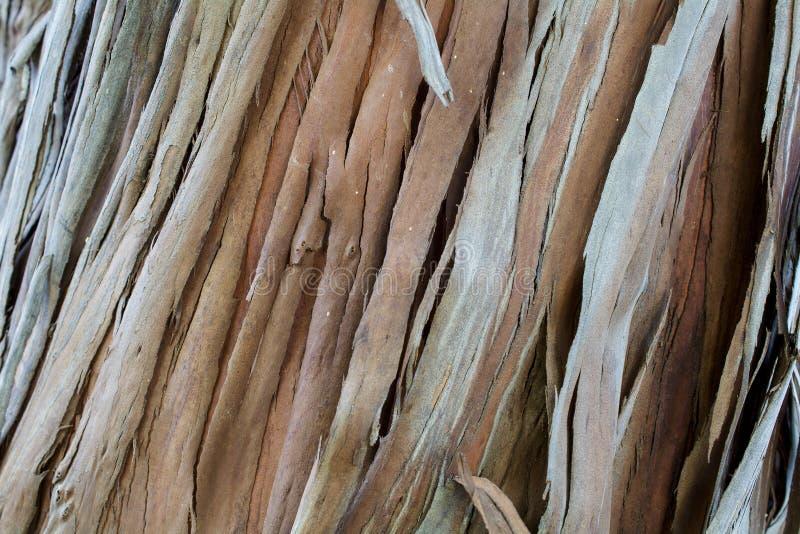 Sekwoj sempervirens drewniana tekstura i tło zdjęcie stock