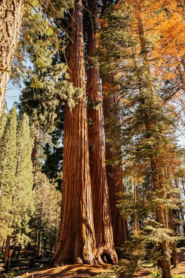 Sekwoja na krawędzi lasu w sekwoja parku narodowym fotografia royalty free