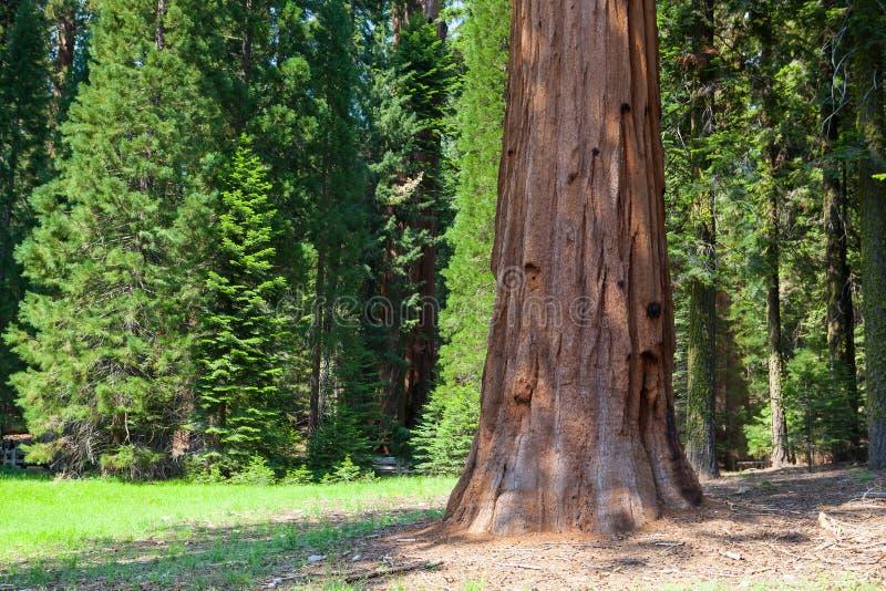 Sekwoja park narodowy, usa zdjęcie royalty free