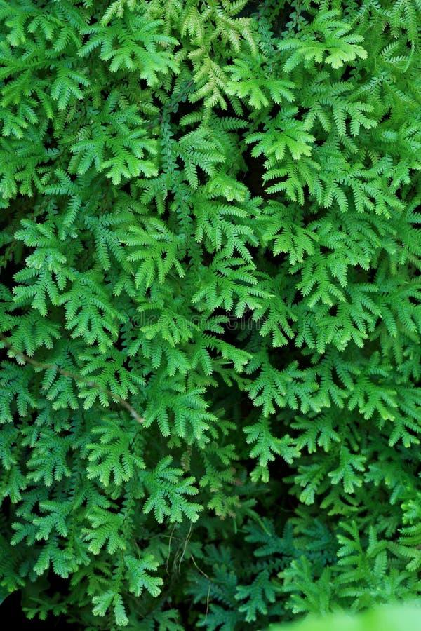 Selaginella de fougère photographie stock