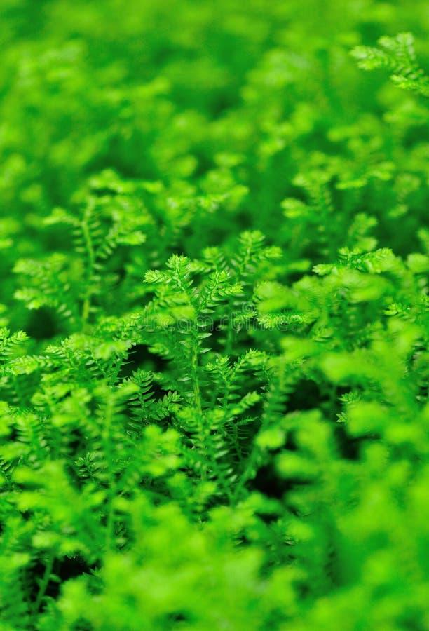 Selaginella martensii roślina zdjęcia royalty free