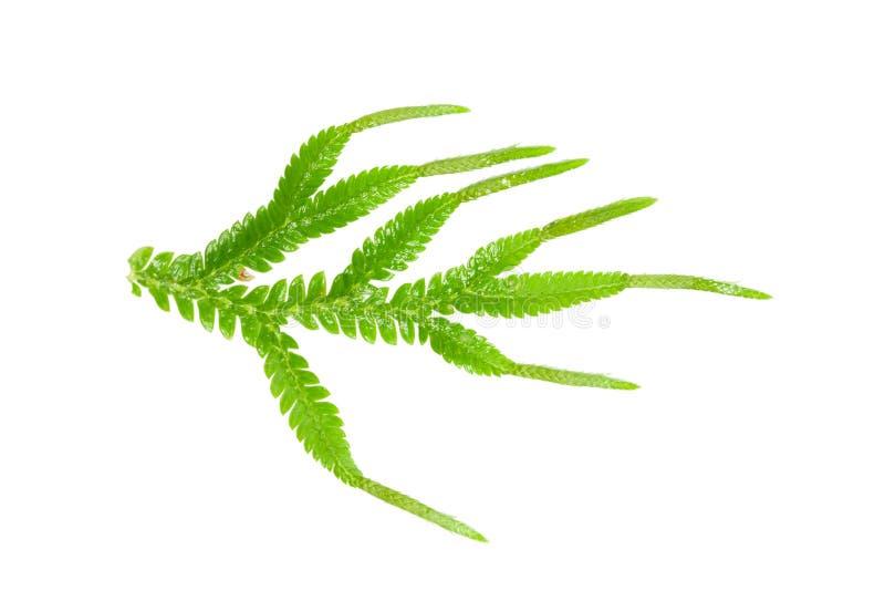 Selaginella med strobilusen royaltyfri fotografi