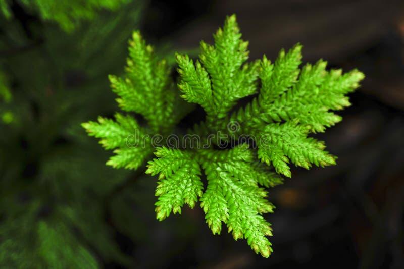 Selaginella, ook als spikemoss wordt bekend, is een kruipende installatie die met stock foto