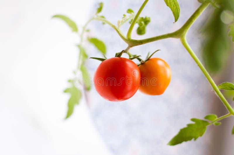 Download Selbst Gemachte Tomate Auf Einer Niederlassung Stockbild - Bild von fenster, lebendig: 96933779