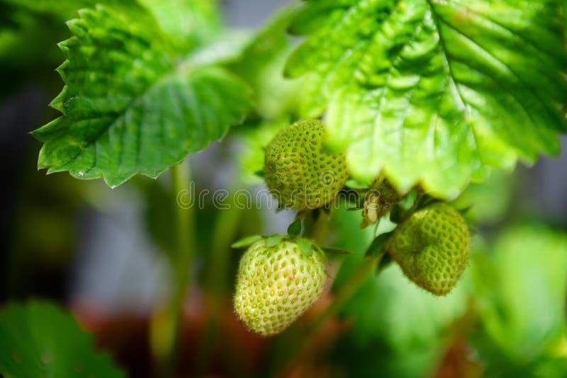 Selbstgezogene unausgereifte Erdbeeren, wenn die Erdbeeren gerade beginnen, sich rot zu drehen lizenzfreies stockfoto