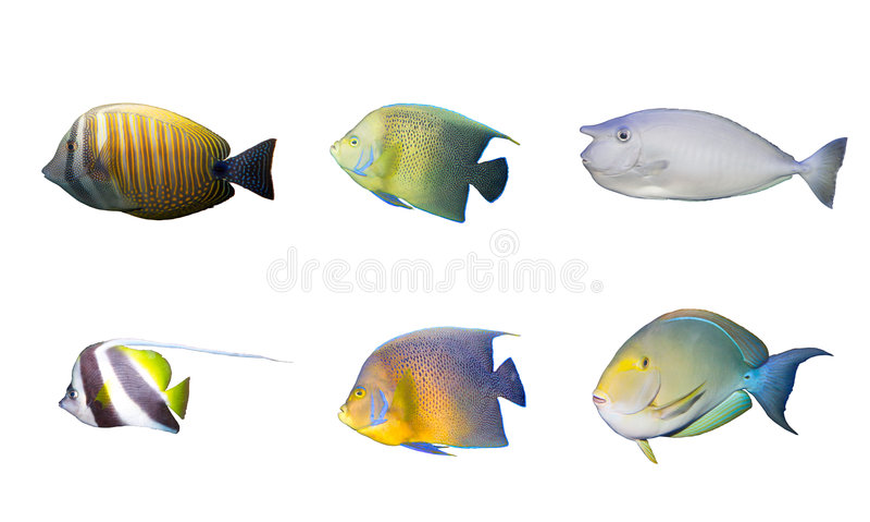 Seleção dos peixes corais tropicais isolados fotos de stock