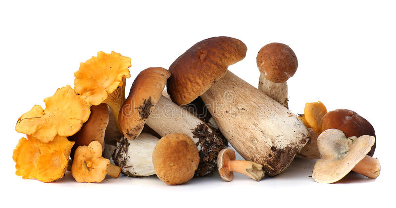Seleção forrageada selvagem do cogumelo isolada no fundo branco, com sombra Cogumelos Edulis do boleto imagem de stock