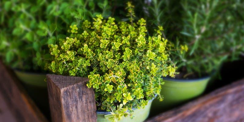 Selección de hierbas culinarias frescas imagen de archivo libre de regalías
