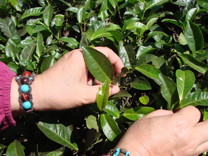 Selección de las hojas de té en plantaciones indias Verano fotos de archivo libres de regalías