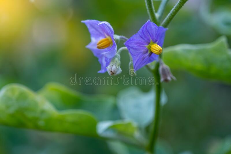 Selecione Focalizar Fechar a EggPlant Tailandesa com flor na folha verde e na árvore com fundo borrado imagem de stock
