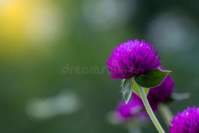 Selecione o foco da visualização Superior das flores do Amaranto em Grove Roxo ou Botão do Solteiro imagem de stock royalty free