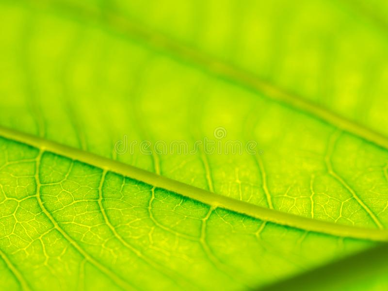 Select focus of green leaf texture macro and bleary of leaves texture.Useful as background royalty free stock images