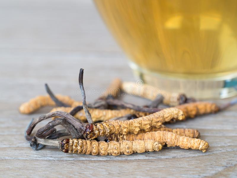 Select focus of mushroom cordyceps CHONG CAO this a herbs. With a glass of water, add water from the Ophiocordyceps sinensisSele stock images