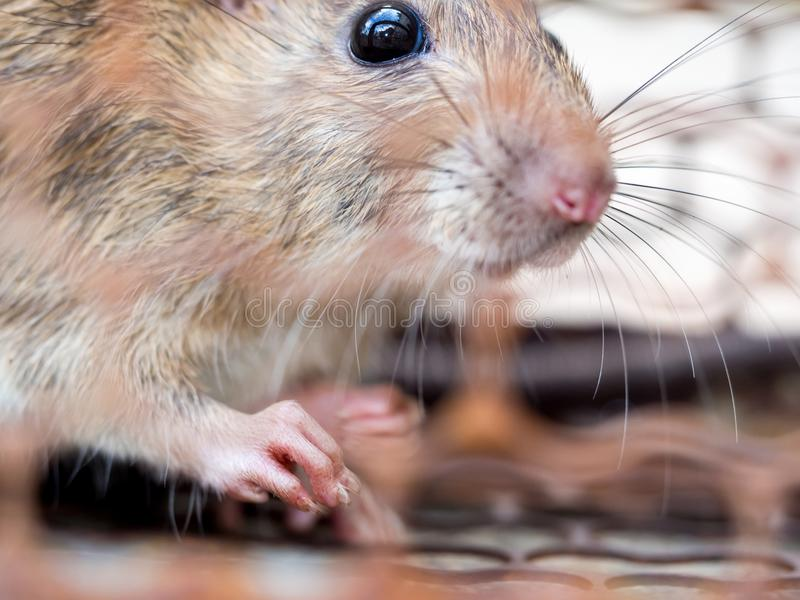 Select focus of the nail of the rat in the nick. Homes and dwellings should not have mice. Pest control.Animal contagious diseases royalty free stock photo
