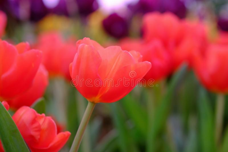 select focus red tulip royalty free stock image