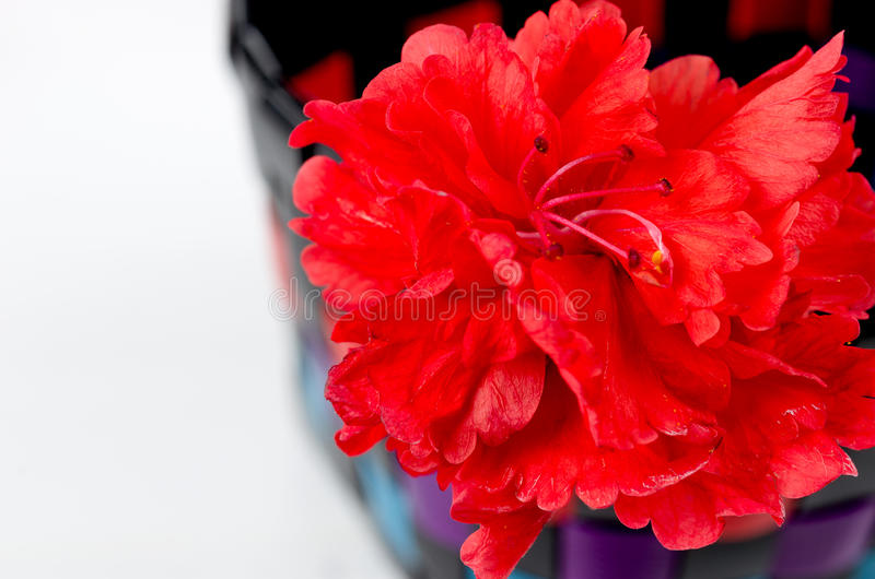 Selected focus of red hibicus flower stock photo