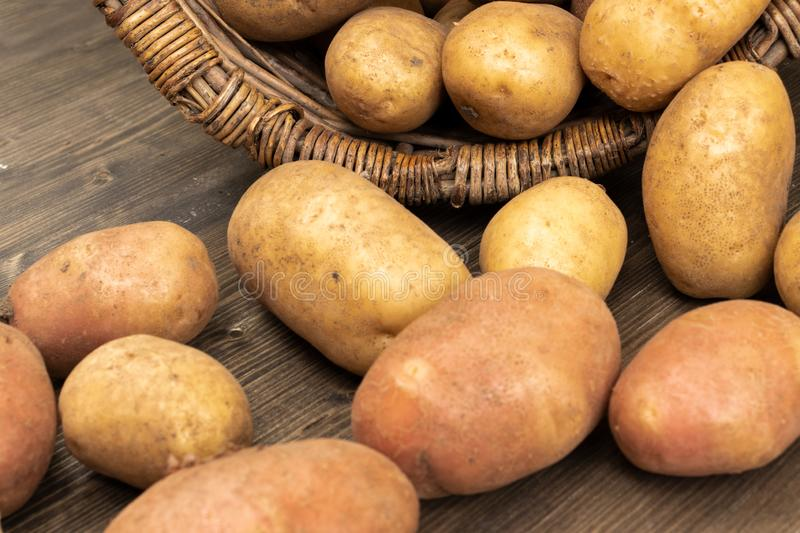 Selected potatoes in a wicker basket. Potato tubers spilled out of a wicker basket lying on its side on a brown wooden plank, close-up royalty free stock image