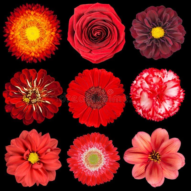Selectie van Diverse Rode Bloemen die op Zwarte wordt geïsoleerd stock afbeeldingen
