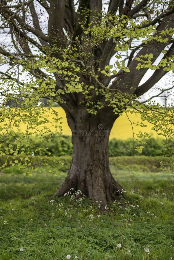 Selectief nadruklandschap van de weg van de beukboom in Engelse landsc stock fotografie
