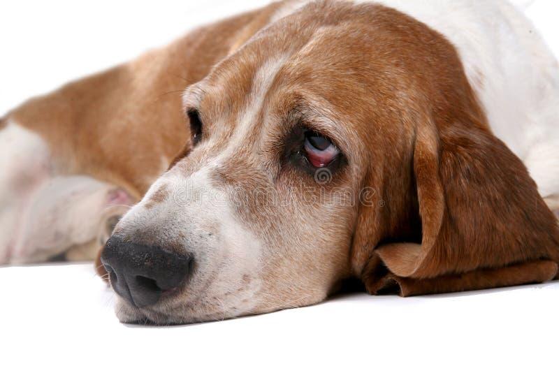 Selectief nadrukportret van het gezicht van de droevige het kijken hond stock afbeelding